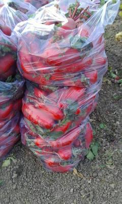 安徽省淮北市濉溪县大红袍萝卜 1~1.5斤