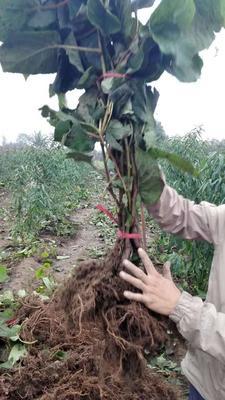 陕西西安周至县猕猴桃实生苗 实生苗