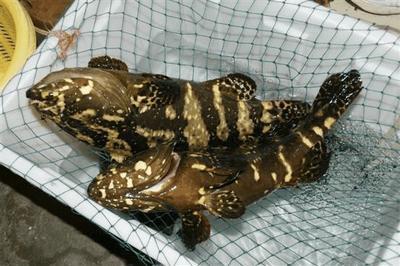 广东省深圳市盐田区珍珠龙胆石斑鱼 人工殖养 0.5公斤以下
