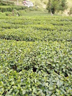 这是一张关于炒青茶 散装的产品图片