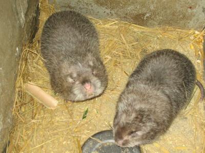 山东青岛大竹鼠 2-4斤