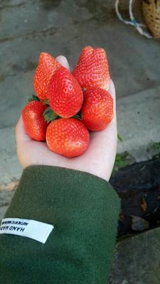 四川凉山美国甜查理草莓 20克以上