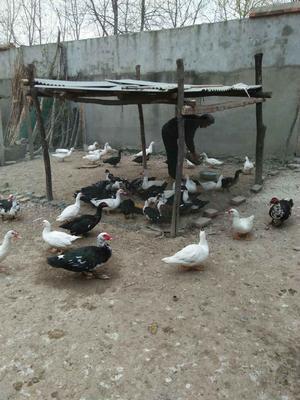 安徽亳州鸳鸯鸭