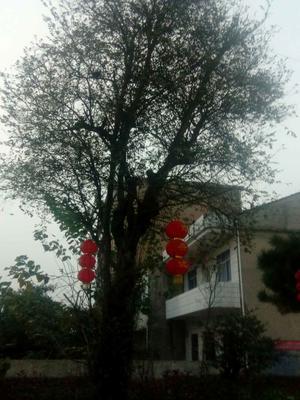 湖南省长沙市长沙县小叶榉树