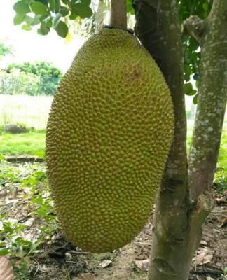 海南临高海南菠萝蜜 15斤以上