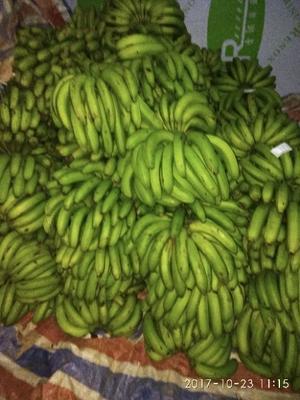 云南文山河口香蕉 七成熟 40 - 50斤