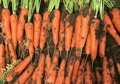 河南开封三红红萝卜 1~1.5斤