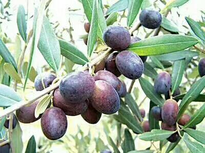 甘肃省陇南市武都区橄榄油