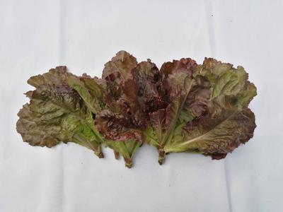 四川成都紫叶生菜 2~3两