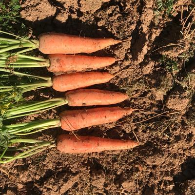 这是一张关于三红胡萝卜 10~15cm 2两以上 3~4cm的产品图片