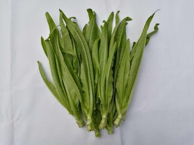 四川成都纯香油麦菜 15~20cm以上
