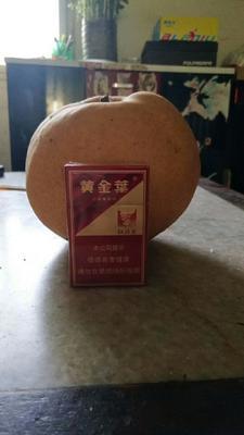 河南濮阳晚秋黄梨 550-600g 85mm以上