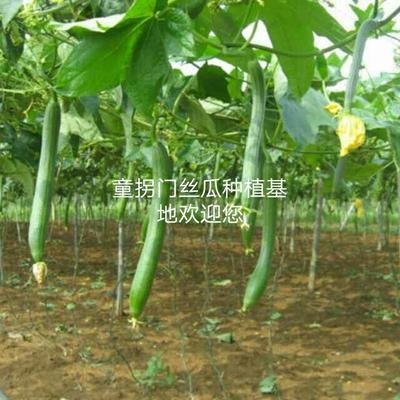 安徽六安青皮香丝瓜 30cm以上