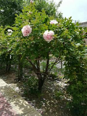 甘肃定西紫斑牡丹 4~6cm 8~10cm 1~1.5米