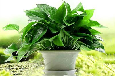 这是一张关于绿萝 美美盆栽室内吸除甲醛防辐射可净化空气的产品图片