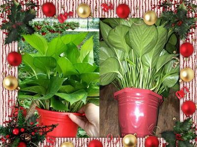 广东广州绿萝 盆栽室内吸除甲醛防辐射植物可净化空气