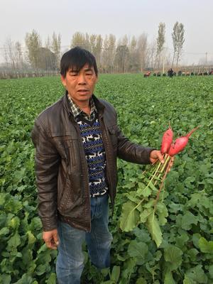 江苏省徐州市铜山区大红袍萝卜 0.2~1斤