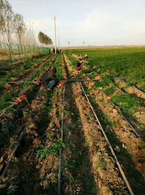 山东省德州市陵城区黑田五寸胡萝卜 15cm以上 5两以上 4~5cm