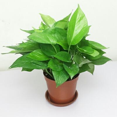 绿萝  盆栽吸收甲醛净化空气