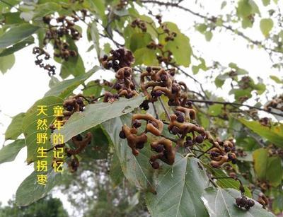 湖南永州绿拐枣