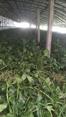 天津水果萝卜 1~1.5斤