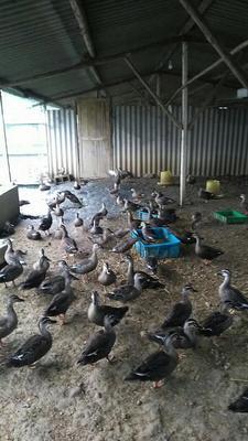 安徽芜湖斑嘴鸭