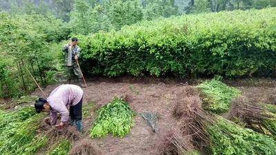 广西桂林南方红豆杉 1~1.5米
