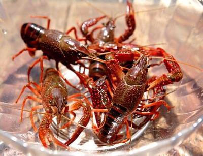 这是一张关于小龙虾苗的产品图片
