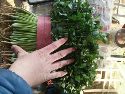 山东聊城大叶香菜 20~25cm