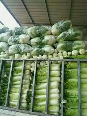 山西省晋中市榆次区天津白菜 6~10斤 净菜