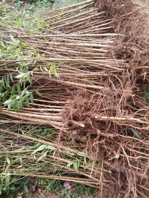 这是一张关于毛桃苗 0.5~1米的产品图片