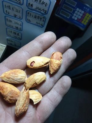 河北邯郸巴旦木 1年 带壳
