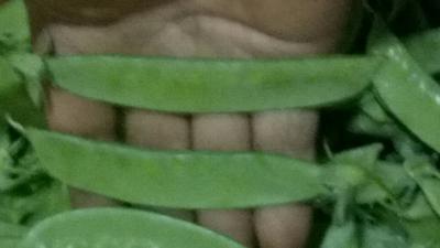 云南玉溪夹豆 1cm以上 10cm以下