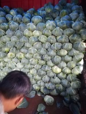 湖南岳阳扁球甘蓝 3.5~4.0斤