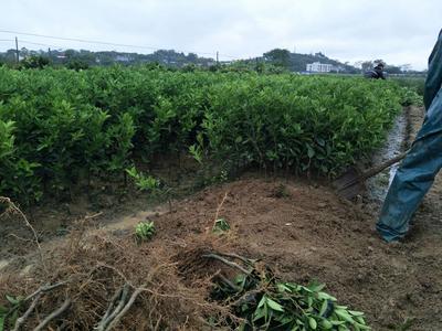 广西钦州灵山县茂谷柑苗 嫁接苗 0.5~1米
