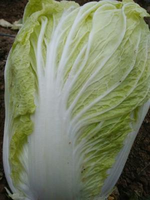 山东省青岛市胶州市胶州大白菜 10~15斤 毛菜