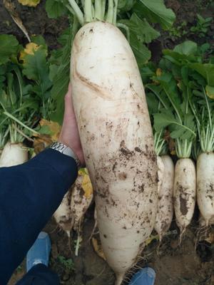 北京大兴区301白萝卜 1~1.5斤