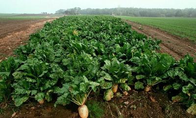 山西省太原市万柏林区红甜菜 30~40cm
