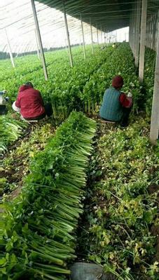 山东省潍坊市诸城市美国文图拉芹菜 55~60cm 大棚种植 0.5~1.0斤