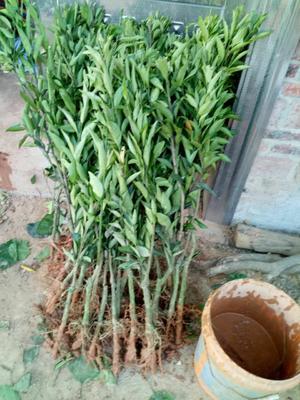这是一张关于红心橙苗 嫁接苗 0.5~1米的产品图片
