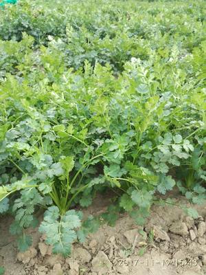 山东省德州市夏津县铁杆青香菜 35cm以上