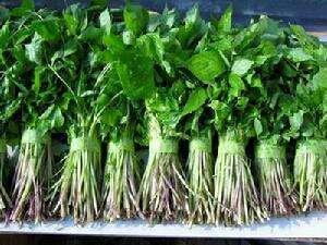 吉林省白山市临江市山芹 40cm以下 露天种植 0.5斤以下