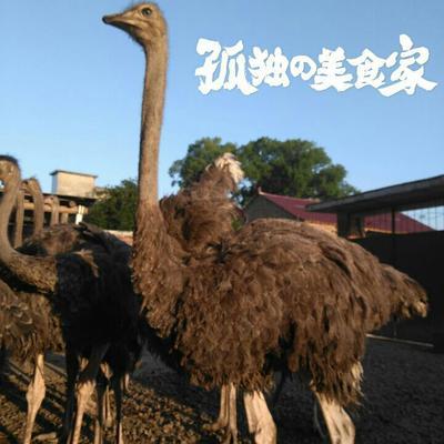 广西桂林非洲鸵鸟