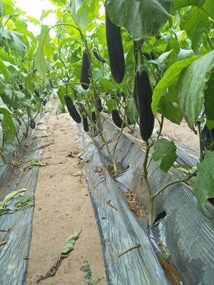 河南商丘鲜花丝瓜 25cm以上