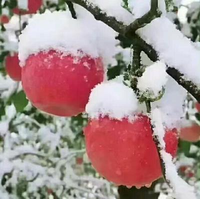 这是一张关于冰糖心苹果 纸袋 条红 80mm以上的产品图片