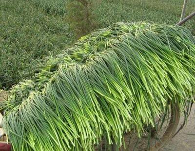 山东日照绿帽蒜苔 一茬 50~60cm 通货