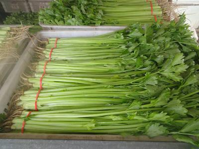 山东省菏泽市东明县玻璃脆芹菜 50~55cm 大棚种植 1.0~1.5斤