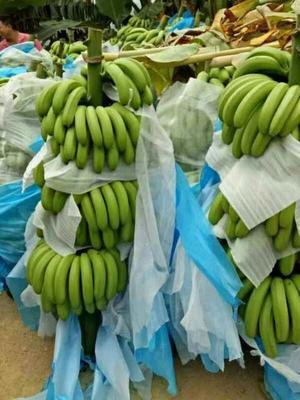 云南红河巴西香蕉 七成熟 40 - 50斤
