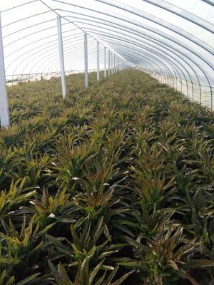 山东临沂红叶香莴苣 50-60cm 1.5~2.0斤