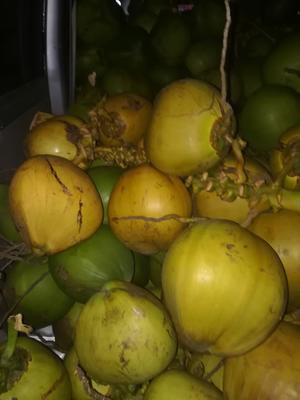 海南琼海琼海椰青 2.5 - 3斤